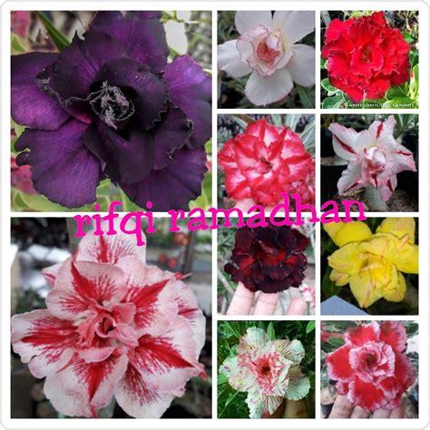 Bibit Bunga Kamboja jual bibit bunga adenium atau kamboja jepang tripel paket