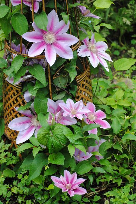 trellis clematis clematis on a trellis gardening