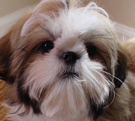 shih tzu dog house johnston s dog house shih tzu breeder mott