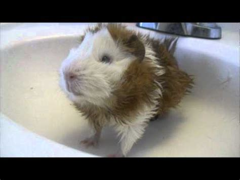 how to clean glands how to clean a guinea pig boar grease gland st doovi