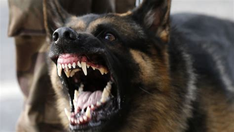 german words for dogs india has trained dozens of german shepherds to protect its tigers quartz