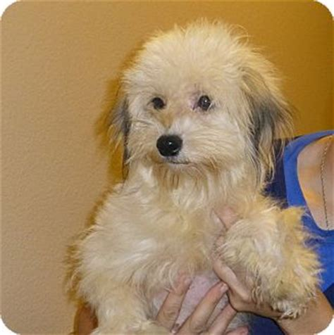 yorkie and miniature poodle mix poodle terrier mix adoptions breeds picture