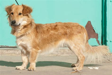 golden retriever corgi corgi golden retriever mix corgi mixes