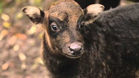 endangered lowland anoa born  chester zoo youtube