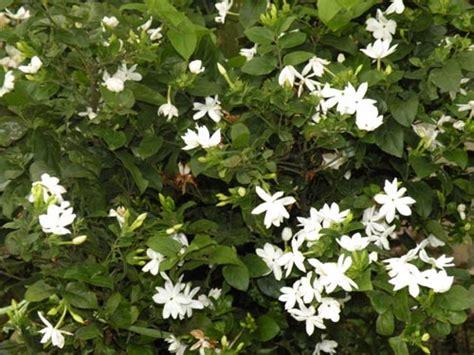 Bibit Bunga Melati Di Makassar pohon untuk kehidupan anda