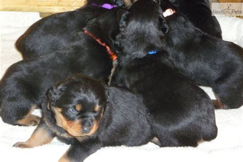 rottweilers for sale in kansas rottweiler puppy newborn rottweiler puppy for sale near wichita kansas 33108b6f 4f61