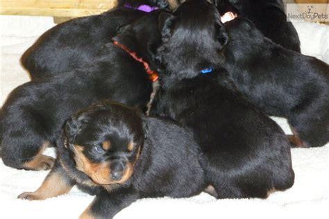 rottweiler puppies in kansas rottweiler puppy newborn rottweiler puppy for sale near wichita kansas 33108b6f 4f61