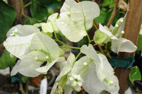 piante ricanti fiorite resistenti al freddo piante ricanti fiorite e sempreverdi