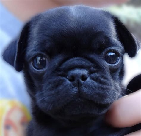 black pug puppie black pug puppies for sale only one boy left uckfield east sussex pets4homes