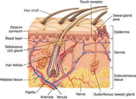 longitudinal section of the skin human hair definition of human hair by medical dictionary
