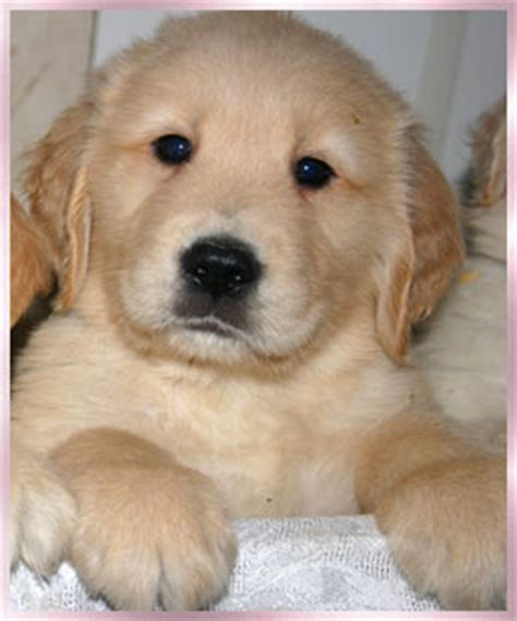 golden retriever breeders orange county golden retriever puppies for sale orange county dogs our friends photo