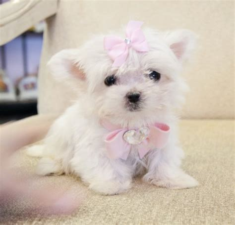 micro for sale teacup maltese puppy