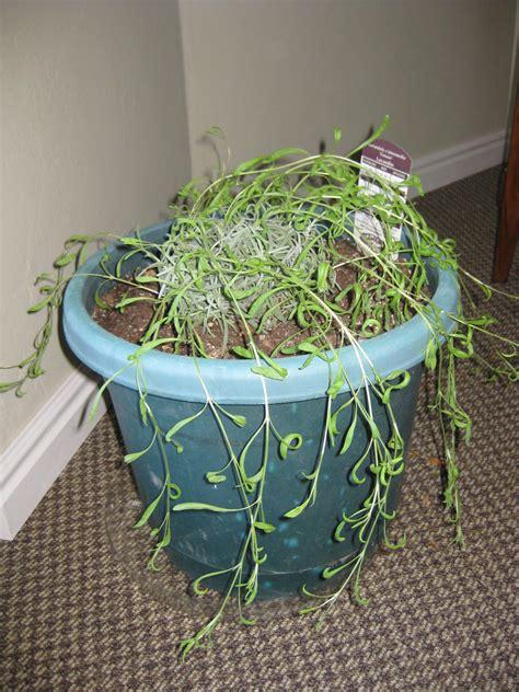 lavender hill growing lavender indoors