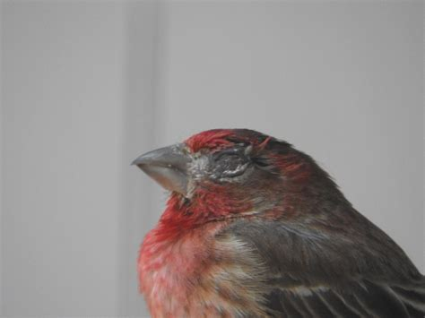 house finch disease house finch eye disease feederwatch