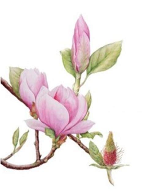 magnolia x soulangeana saucer magnolia magnoliaceae