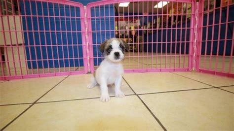 bull shih tzu puppies for sale bull shih puppies for sale in atlanta ga bulldog shih tzu at