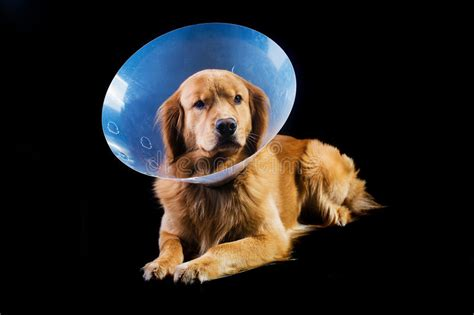 golden retriever neutering recovery golden retriver wearing cone of shame royalty free stock photography image 30030017