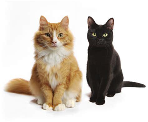 razze di gatti da appartamento razze di cani e gatti caratteristiche carattere e curiosit 224