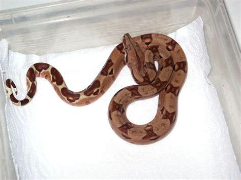Boa Pastel 1 boa constrictor