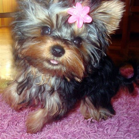 yorkie hair or fur twinkie on yorkie terrier and houses