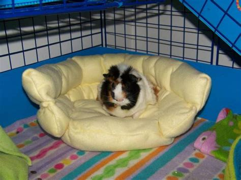 how to make a guinea pig bed diy guinea pig couch petdiys com