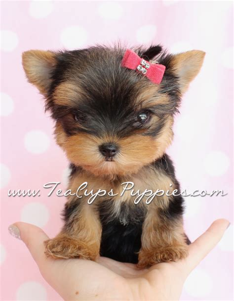 yorkie puppies delaware teacup terrier puppies for sale cheshire dogs in our photo