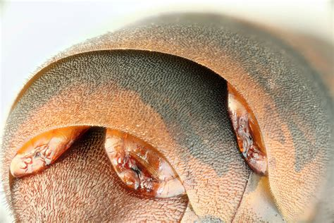 What Does Bed Bugs Look Like Absurd Creature Of The Week The Insect That Devours Its
