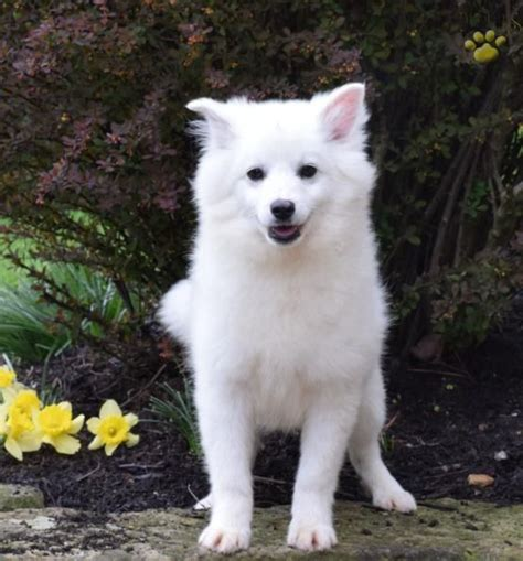 samoyed puppies for sale in ohio 17 best ideas about american eskimo puppy on american eskimo samoyed