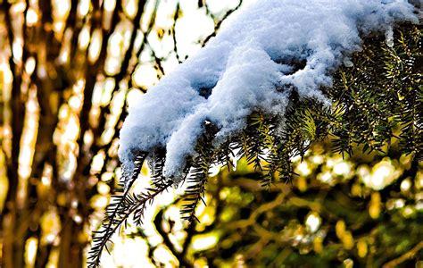 Pianta Incenso Inverno by Incenso E Solstizio D Inverno Spirito E Profumi