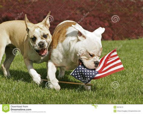 yankee doodle dogs yankee doodle doggies stock photo image 9616070