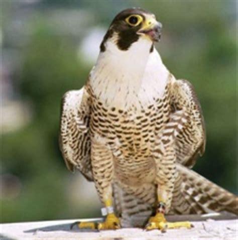 le faucon dnich pleine le faucon p 232 lerin 187 la vie animale