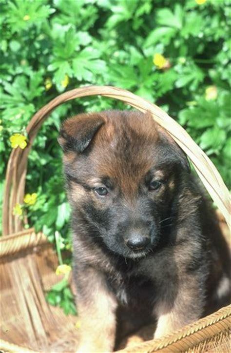 find german shepherd puppies german shepherd pictures