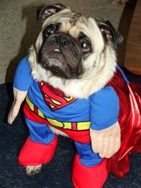 pug in superman costume pugs dressed up search luke s room pug pictures pug