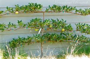 homestead revival espalier fruit trees for potager gardens