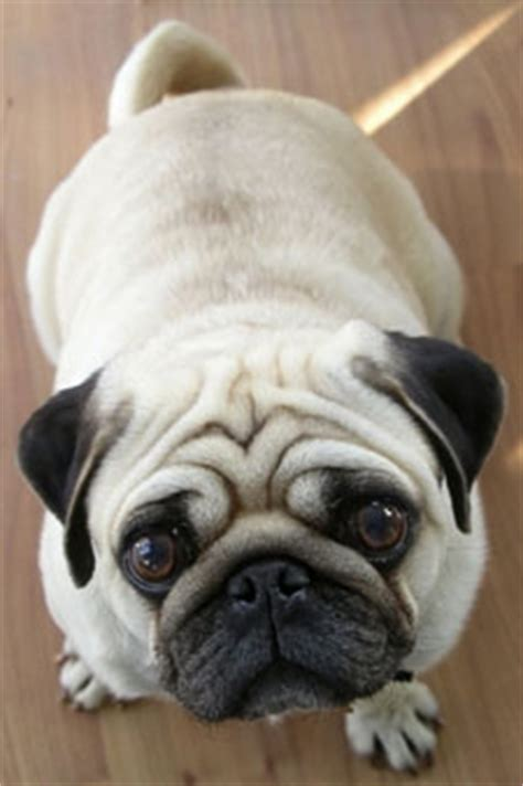 pug puppy has diarrhea ten pug mysteries solved pug s behavior and actions