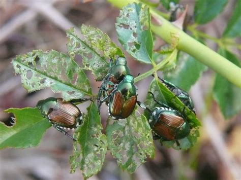 Mba In Entomology by Japanese Beetles Best And Worst Plants The Farmer S