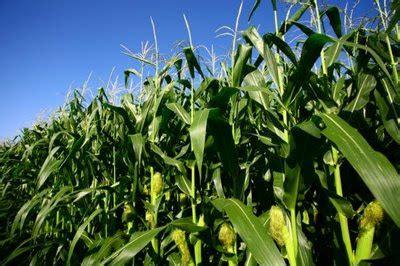 Furadan Pada Jagung budidaya tanaman jagung manis arif s