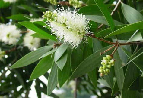Daun Minyak Kayu Putih peluang usaha budidaya tanaman kayu putih dan analisa