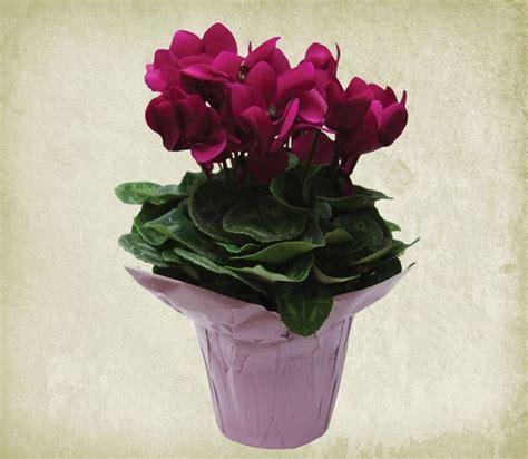 fiore ciclamino significato ciclamino linguaggio dei fiori linguaggio