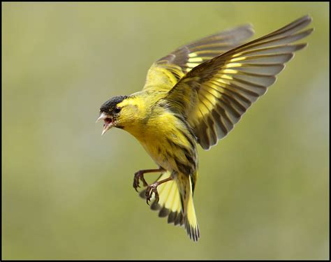 siskin in flight these are the most quarrelsome small