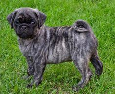 car advert with pug dogs 1000 images about pugs and pug mix dogs on pug puggle puppies and