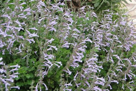 Plant Foliage - robins salvias