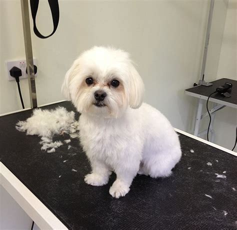 boy maltese haircuts maltipoo haircuts google search puppy love pinterest
