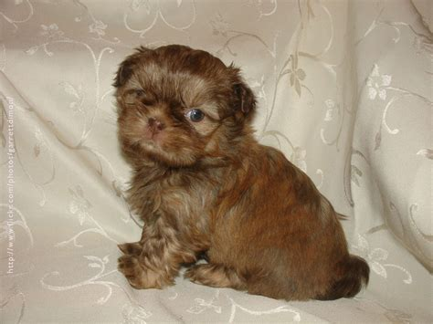 brown and black shih tzu brown and black shih tzu adults www imgkid the image kid has it