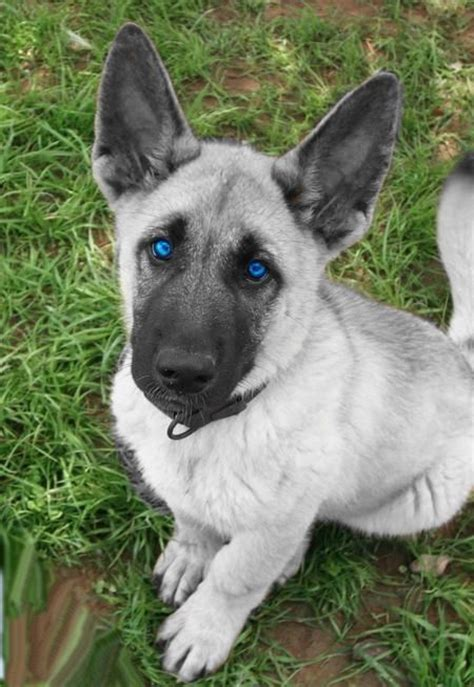 blue bay shepherd puppies for sale 25 best ideas about blue german shepherd on german shepherd pups german