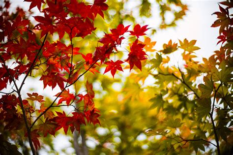 imagenes para pc naturaleza fondos de pantalla follaje acer planta rama naturaleza