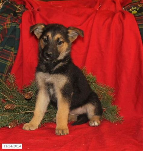 german shepherd puppies for sale in pa german shepherd puppy for sale in pennsylvania puppies for sale
