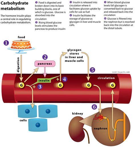 carbohydrates hormones hypothalamus