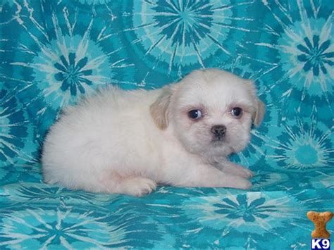teacup shih tzu puppies for sale in dallas shih tzu puppies for sale in dallas