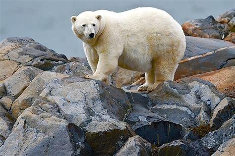 polar season churchill photos churchill polar bears